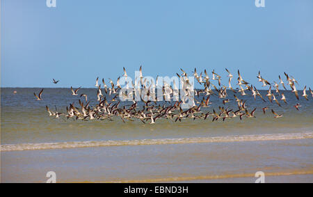 black skimmer (Rynchops niger), flying flock of black skimmers at the shoreline, USA, Florida - Stock Photo