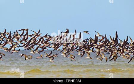 black skimmer (Rynchops niger), flying flock of black skimmers , USA, Florida - Stock Photo