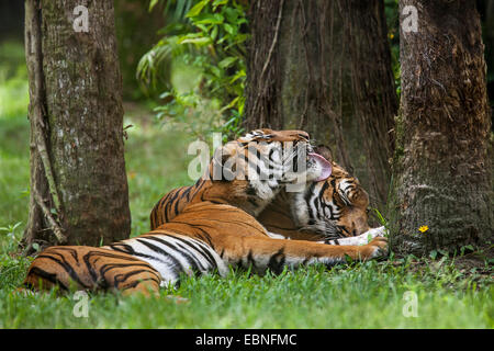 MALAYAN TIGER (Panthera tigris jacksoni) allogrooming. Native to large parts of Asia. Captive. Endangered species. - Stock Photo