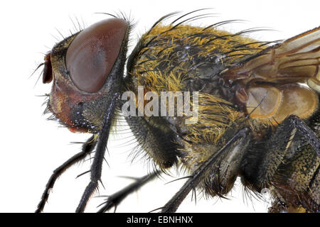 true flies (Brachycera, Diptera), head and thorax of a fly, lateral view - Stock Photo