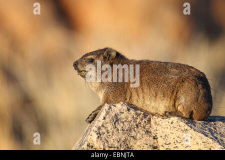 common rock hyrax, rock dassie (Procavia capensis), sits on a rock in the evening sun, South Africa, Augrabies Falls - Stock Photo