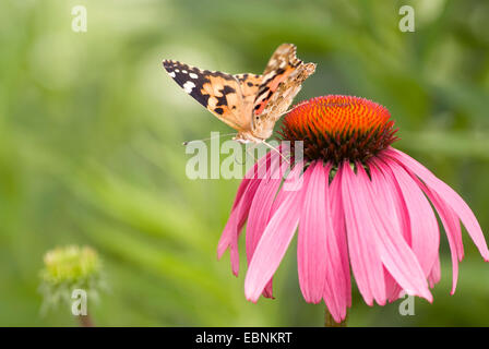 painted lady, thistle (Cynthia cardui, Vanessa cardui), sitiing on blooming eastern purple coneflower - Stock Photo