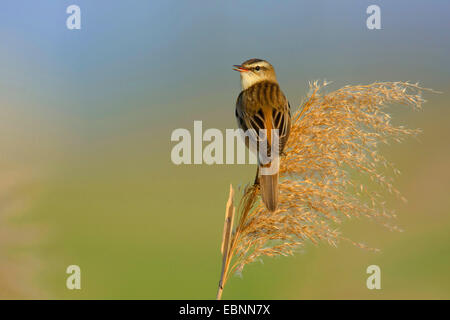 sedge warbler (Acrocephalus schoenobaenus), sitting on reed , Hungary, Hortobagy, Nagyivan - Stock Photo