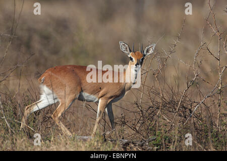 steenbok (Raphicerus campestris), male stands in scrubland, South Africa, Kruger National Park - Stock Photo