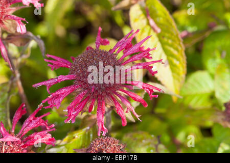 Bee Balm, Oswego Tea, Bergamot, Scarlet Beebalm, Scarlet Monarda, Crimson Beebalm (Monarda didyma), blooming - Stock Photo