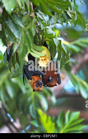 seychelles flying fox, seychelles fruit bat (Pteropus seychellensis), two flying foxes hanging head first in a tree, - Stock Photo