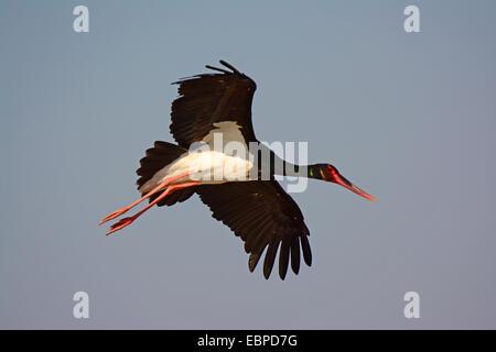 Black Stork- Ciconia nigra flying - Stock Photo
