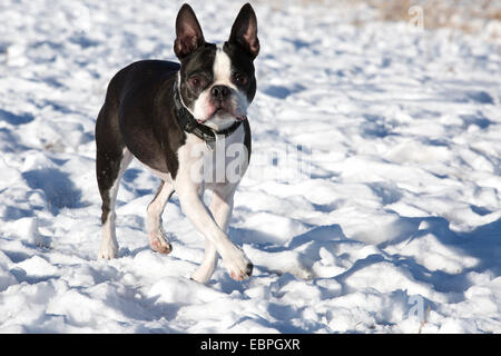 Eleven year-old Boston Terrier running in snow in off-leash dog park - Stock Photo