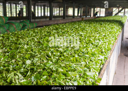 Freshly picked tea being prepared for drying in a tea plantation in Kandy, Sri Lanka, Asia - Stock Photo