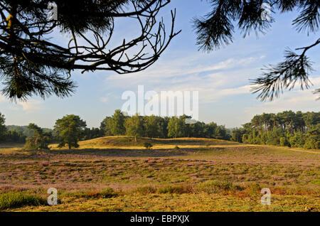 blooming heath in Natre reserve Westruper Heide, Germany, North Rhine-Westphalia, Nature Reserve Westruper Heide - Stock Photo