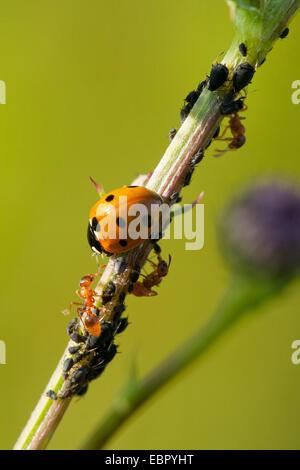 seven-spot ladybird, sevenspot ladybird, 7-spot ladybird (Coccinella septempunctata), seven-spot ladybird and yellow - Stock Photo