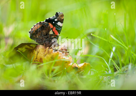 Red admiral (Vanessa atalanta, Pyrameis atalanta), in a meadow, Germany, Rhineland-Palatinate - Stock Photo