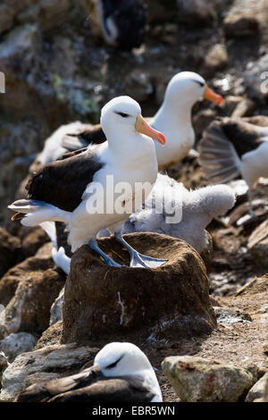 Black-browed albatross (Thalassarche melanophrys, Diomedea melanophris), in a nesting colony with fledglings, Falkland - Stock Photo