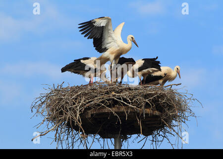 white stork (Ciconia ciconia), four young birds in the nest, Germany - Stock Photo