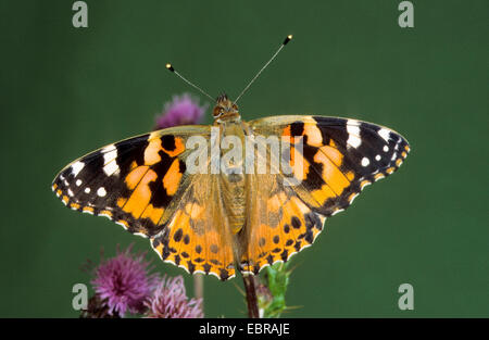Painted lady (Cynthia cardui, Vanessa cardui, Pyrameis cardui), sitting on a thistle, Germany - Stock Photo