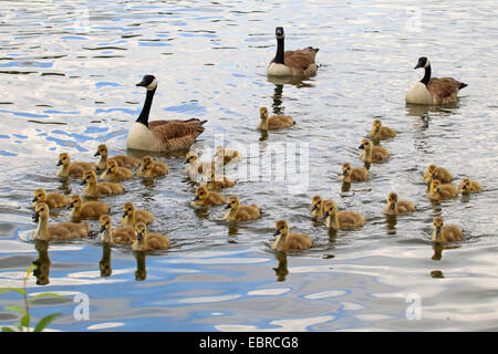 Canada goose (Branta canadensis), Canada geese with goslings on water, Germany - Stock Photo