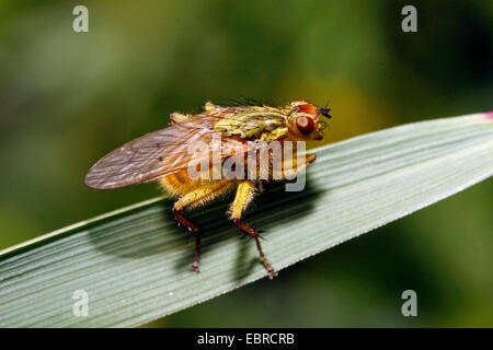 Yellow dungfly, Yellow dung fly, Golden dung fly (Scathophaga stercoraria), sitting on a leaf, Germany - Stock Photo
