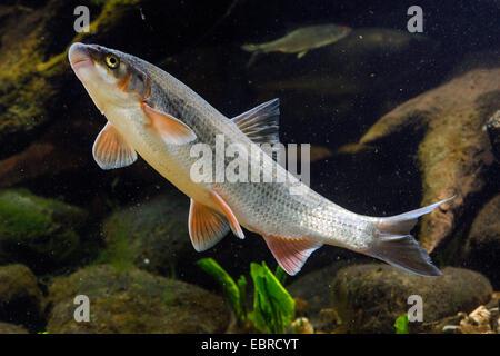 nase (Chondrostoma nasus), swimming, Germany - Stock Photo