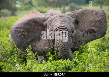 African elephant (Loxodonta africana), eating elephant with pricked up ears, Tanzania, Serengeti National Park - Stock Photo