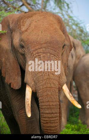 African elephant (Loxodonta africana), portraet, Tanzania, Serengeti National Park - Stock Photo