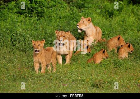 lion (Panthera leo), lionesses with young animals, Tanzania, Serengeti National Park - Stock Photo