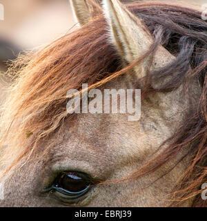 Duelmen pony, Dulmen pony, Duelmener Wildpferd, Dulmener Wildpferd (Equus przewalskii f. caballus), details from - Stock Photo