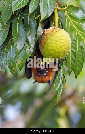 seychelles flying fox, seychelles fruit bat (Pteropus seychellensis), hangs on a tree and feeds a fruit, Seychelles, - Stock Photo