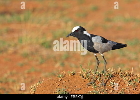 Blacksmith Lapwing (Vanellus armatus), stands on the ground, South Africa, North West Province, Pilanesberg National - Stock Photo