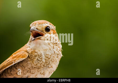 red-backed shrike (Lanius collurio), juvenile, portrait with bill open, Germany, Hesse - Stock Photo
