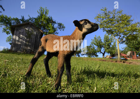 Cameroon, Cameroon sheep (Ovis ammon f. aries), lamb standing in a meadow, Germany - Stock Photo