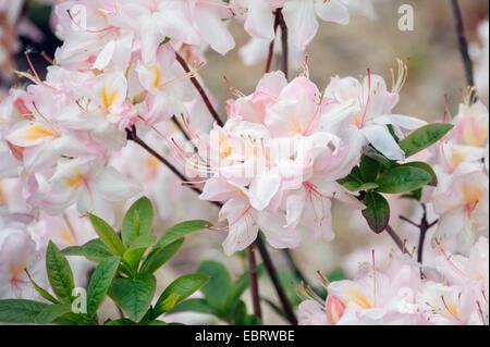 Japanese Azalea (Rhododendron 'Satomi', Rhododendron Satomi), cultivar Satomi - Stock Photo