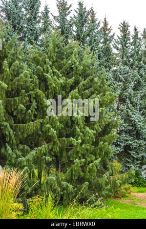Brewer spruce, Brewer's Weeping  (Picea breweriana), Germany, Saxony - Stock Photo