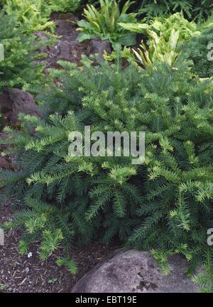 common yew (Taxus baccata 'Repandens', Taxus baccata Repandens), cultivar Repandes - Stock Photo