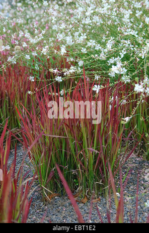 woollygrass, Japanese Blood Gras (Imperata cylindrica 'Red Baron', Imperata cylindrica Red Baron), cultivar Red - Stock Photo