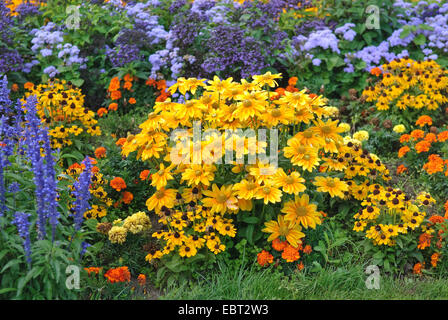 black-eyed susan, hairy coneflower, yellow daisy (Rudbeckia hirta), blooming in flowerbed - Stock Photo