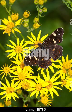 map butterfly, summer form (Araschnia levana f. prorsa), 2nd generation, sitting on groundsel, Germany - Stock Photo