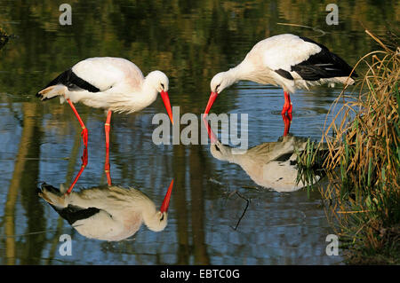 white stork (Ciconia ciconia), two birds looking for food in shallow water, Germany - Stock Photo