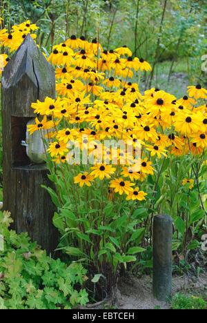 black-eyed susan, hairy coneflower, yellow daisy (Rudbeckia hirta), blooming, Nieklitz - Stock Photo