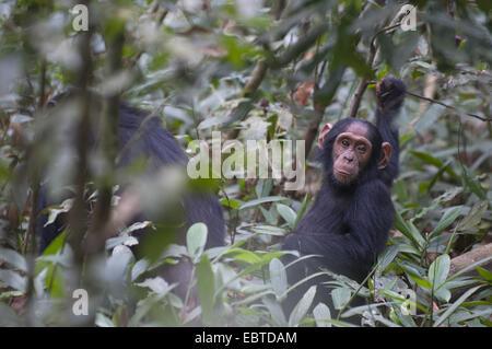 common chimpanzee (Pan troglodytes), juvenile following its mother through the bushes, Uganda, Kibale Forest National - Stock Photo
