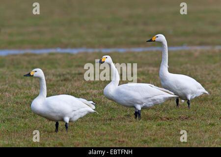 Bewick's Swan, Bewicks Swan (Cygnus bewickii, Cygnus columbianus bewickii), three adults in a meadow, Germany, Schleswig - Stock Photo
