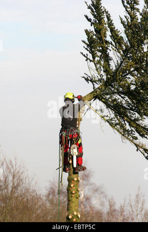 Norway spruce (Picea abies), lumberman felling a spruce, Germany, North Rhine-Westphalia - Stock Photo