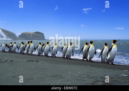 king penguin (Aptenodytes patagonicus), King Penguins lined up, Suedgeorgien - Stock Photo
