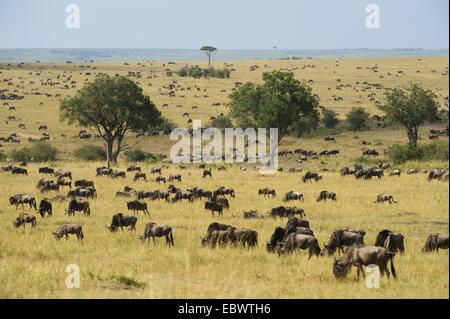 Landscape of the Maasai Mara with grazing herds of Blue Wildebeest (Connochaetes taurinus), Massai Mara, Kenya - Stock Photo