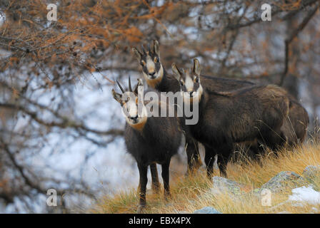 chamois (Rupicapra rupicapra), group in winter, Italy, Gran Paradiso National Park - Stock Photo
