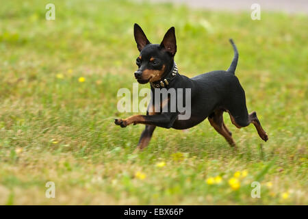 Prazsky krysarik, Prague Ratter (Canis lupus f. familiaris), running over a meadow, Germany - Stock Photo