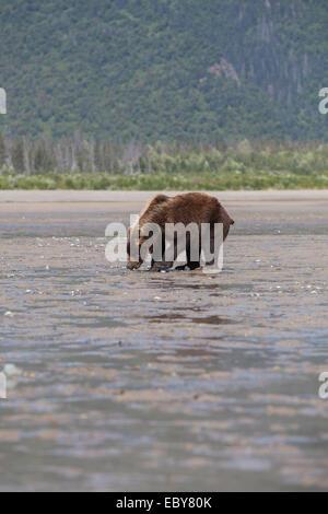Coastal Brown bear in Chinitna Bay, Kenai Peninsula Borough, Alaska, USA - Stock Photo