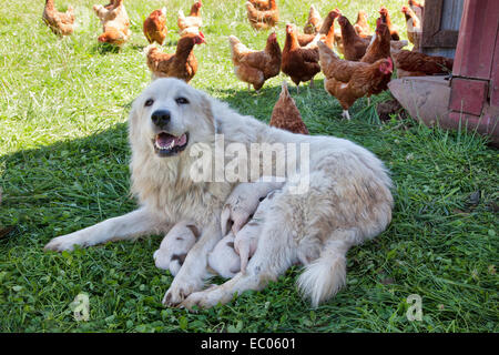 Great Pyrenees mother with one week old puppies, free roaming Eco organic chicken, free range. - Stock Photo