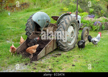 Free range chickens hens and cockerel pecking at manure in transport box of tractor in farmyard in Wales UK  KATHY - Stock Photo