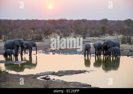 African elephants (Loxodonta africana) drinking at a waterhole at sunset, Etosha National Park, Namibia, Africa - Stock Photo