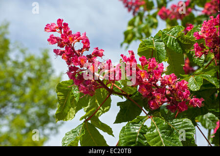 Red horse-chestnut (Aesculus × carnea, Syn. Aesculus rubicunda), Bavaria, Germany - Stock Photo